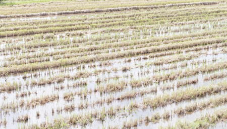 Paddy field in the countryside of Bangkok , Thailand Archivio Fotografico