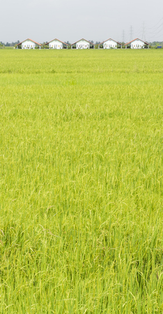 Paddy field in the countryside of Thailand