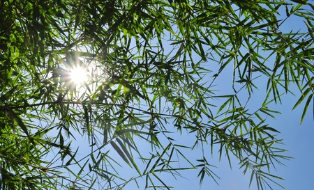 Bamboo leaf and clear sky background photo