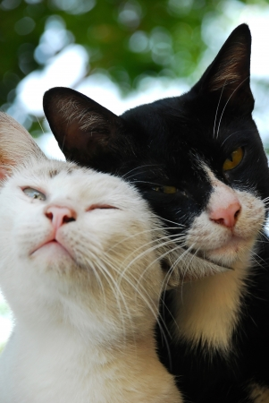 couple of black and white cat Stock Photo - 13326391