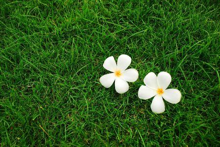 Frangipani flowers on green grass background photo