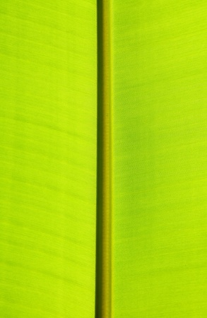 Close up of green banana leaf texture photo