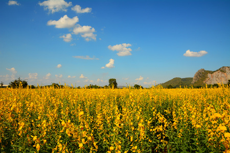 agrar: Yellow flowers field with blue sky (Crotalaria juncea) Stock Photo