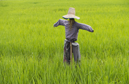 Scarecrow of green field rice