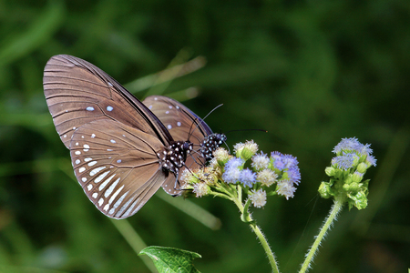 Close up of two butterflies feeding on flowers