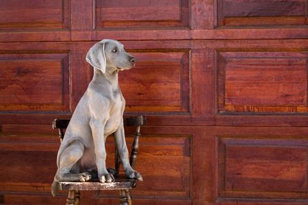 sgomento: weimaraner cane