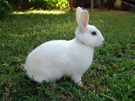 The Easter bunny portrait. White rabbit on a patch of green grass. Stock Photo