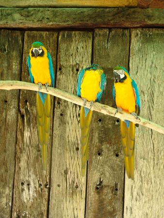 three macaw parrots on a branch photo