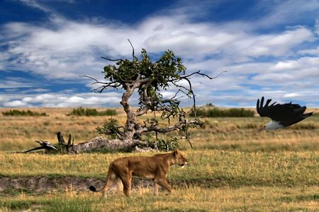 lion walking in the savannah, vulture, Okavango Delta. Stock Photo