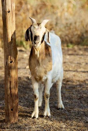 boer: boer cabra en el granero Foto de archivo