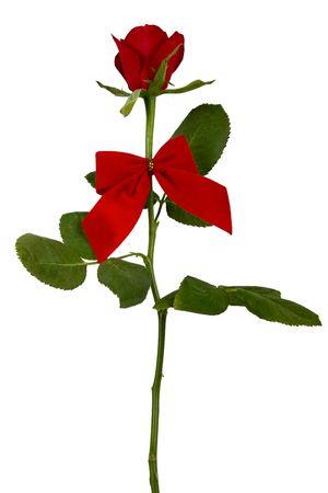 Single valentines velvet rose on white,