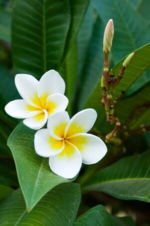 frangipani tropical flowers, green lefs, nature series