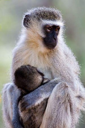 omnivore animal: velvet monkey(Cercopithecus aethiops) and , location Southern Africa, Botswana