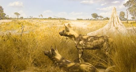 lycaon pictus: African wild dogs, Lycaon pictus, semi desert area ,Kalahari, Botswana, termites funnel nest,  Stock Photo