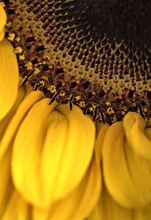 extreme sunflower macro 100mm + 2 extension tubes, pistils, nature macro series photo
