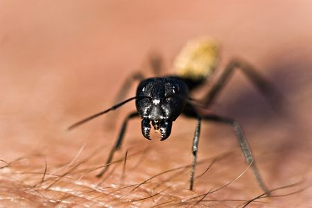formicidae: Macro warrior termite ant on a human arm, nature series Stock Photo