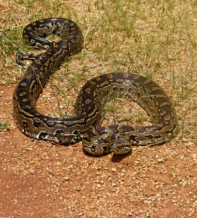 crawling animal: Rock python, keeping warm in the sun, Pythonidae , wildlife series