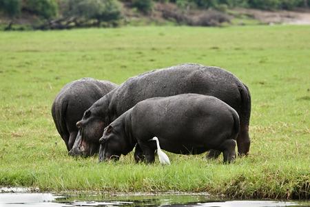 緑の草、オカバンゴ デルタ、カバの水陸両用のパッチに放牧カバ 写真素材