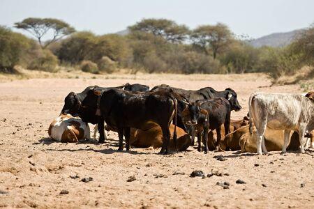 dearth: Intensive drought, Kalahari area, cattle extermination, farming series Stock Photo