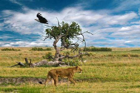 Female lion walking in the savannah, vulture, Okavango Delta. Accipitridae Cathartidae, Panthera leo.