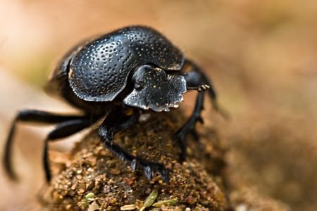 arthropod: gofer beetle, Coleoptera ,