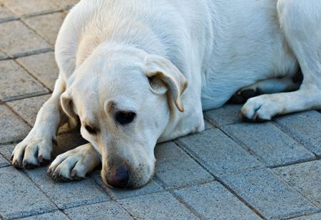 blind people: Labrador retriever, hunting dog, also widely used to help blind people.