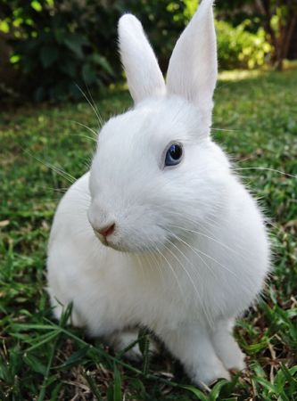 leporidae: White rabbit with blue eyes in the green grass, Leporidae ,