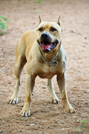 American pitbull fighting breed, American Staffordshire Terriers photo