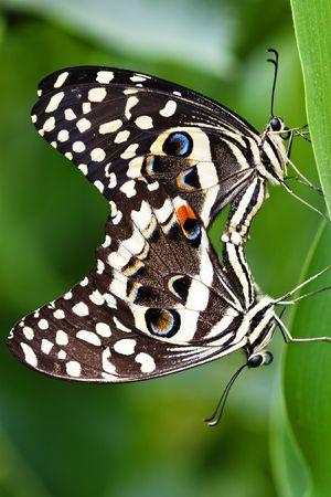 genitali: Due Swallowtail farfalla visualizzazione comportamento sessuale, Papilio demodocus Esper, Lepidotteri: Papilionidae,