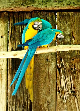 Two macaws resting on a branch, Psittaciformes ,  photo