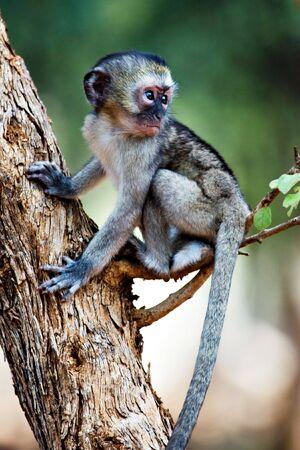 ベルベット サル (ミドリザル) 場所南部アフリカ ボツワナ
