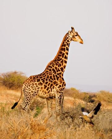 giraffe walking  across the  african bush and egypian duck landing photo