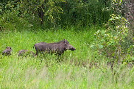 warthog mother and babies walking thru the thick green grass,Botswana,Okavango, Phacochoerus africanus photo