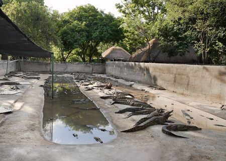 crocodile farm in Africa, Zimbabwe, largely used for the leather, fried the tail is not bad at all. photo