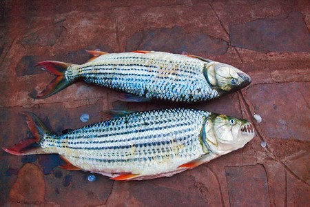 vittatus: fishermans pride, African Tiger Fish, Hydrocynus vittatus,is the catch of the day, are fierce predators with distinctive protruding teeth Stock Photo