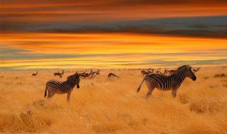 herbivore natural: herd of zebras and impala grazing in the savannah at the sunset Stock Photo