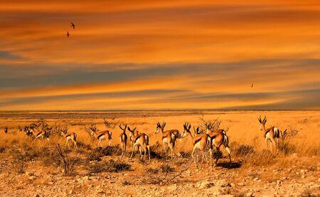 herd of impala antelopes at the sunset in the Botswana savannah