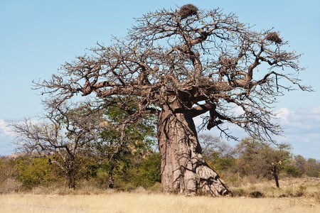 baobab tree full with fruits and few birds nests photo