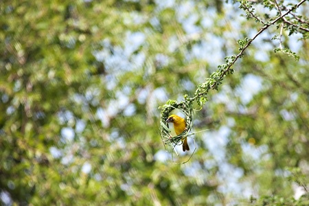 weaver bird nest: Ploceidae, speke male weaver bird, in the natural African habitat
