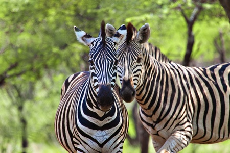 Two male zebra, in the natural African habitat