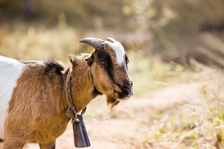 Typical African goat roaming freely in the Botswana bush Stock Photo