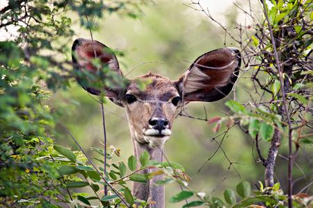 African kudu female antelope framed by the dense bush