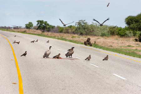 Cape vultures feeding on a carcass on the open road Stock Photo