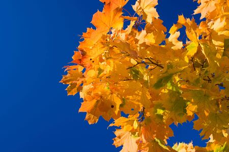 descriptive: Maple leaves on a background of the blue sky Stock Photo