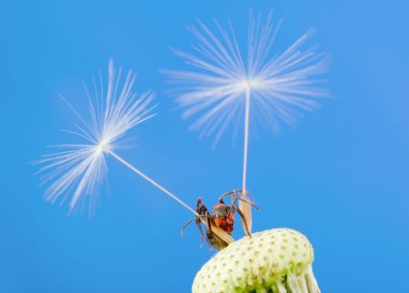 The ant creeps on a dandelion photo