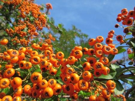 Fruits of Sorbus Aucuparia
