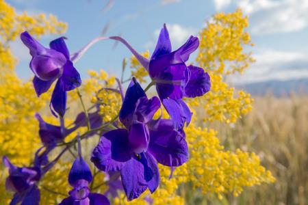 Blue flowers on yellow fiel