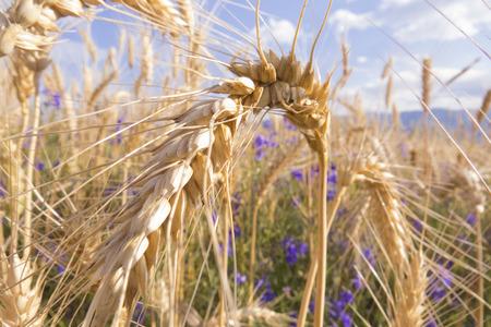 Wheatear in the field