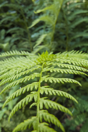 brake fern: fern leafs Stock Photo