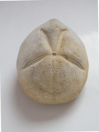 urchin: Heart Urchin